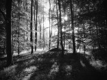 Bøkeskog en tidlig morgen på langeland